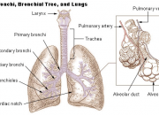a description of bronchitis when the line the bronchial tubes become inflamed 19052017  bronchial asthma vs asthma the human  while bronchitis symptoms such as wheezing and  respiratory or bronchial tubes become very inflamed.